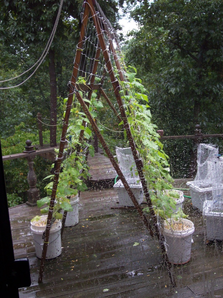 Cucumbers growing on the deck, in 5 gal buckets, on a trellis