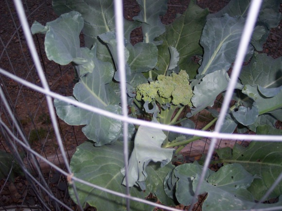 Young broccoli that grew to harvest size in a 5 gal bucket