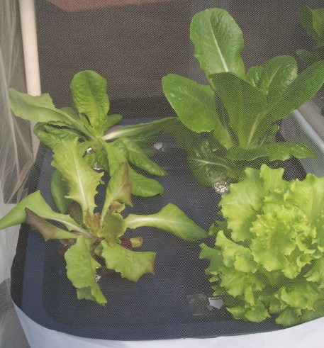 Romaine & Summer Crisp lettuce starting to grow in a hydroponic container, covered, on the deck