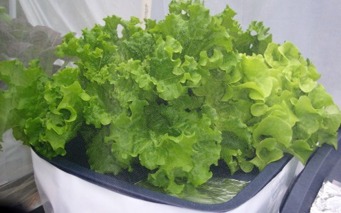 UPDATE 2 weeks after planting in hydroponic containers- Green Leaf Lettuce growing in a hydroponic container on the deck