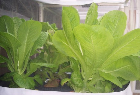 UPDATE 2 weeks after planting in hydroponic containers- Romaine Lettuce growing outside in hydroponic containers on the deck