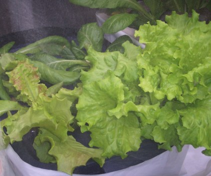 UPDATE 2 weeks after planting in hydroponic containers- Summer Crisp lettuce in hydroponic containers on the deck