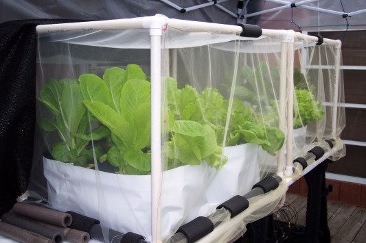 UPDATE 2 weeks after planting in hydroponic containers- Romaine lettuce in their cages & netting & in hydroponic containers on the deck