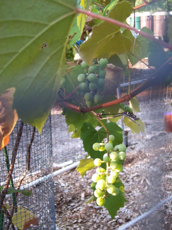 Grapes near harvest time