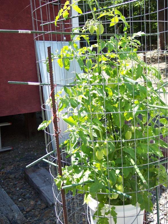 San Marzano Roma tomato in a 5 gal bucket