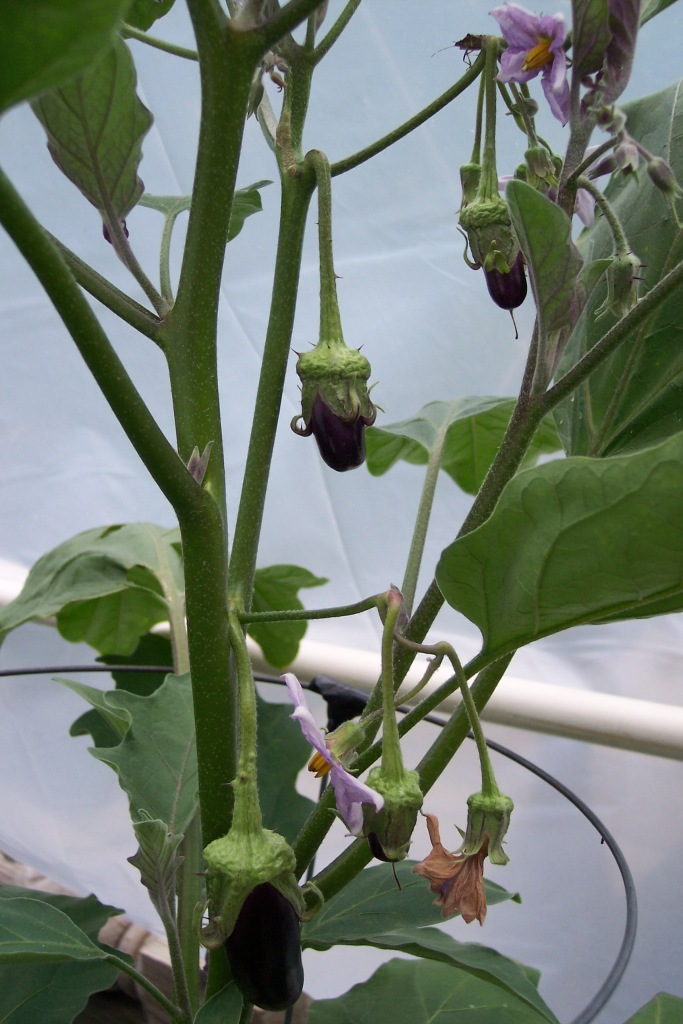 Hansel Eggplant as of Sept 7, 2014