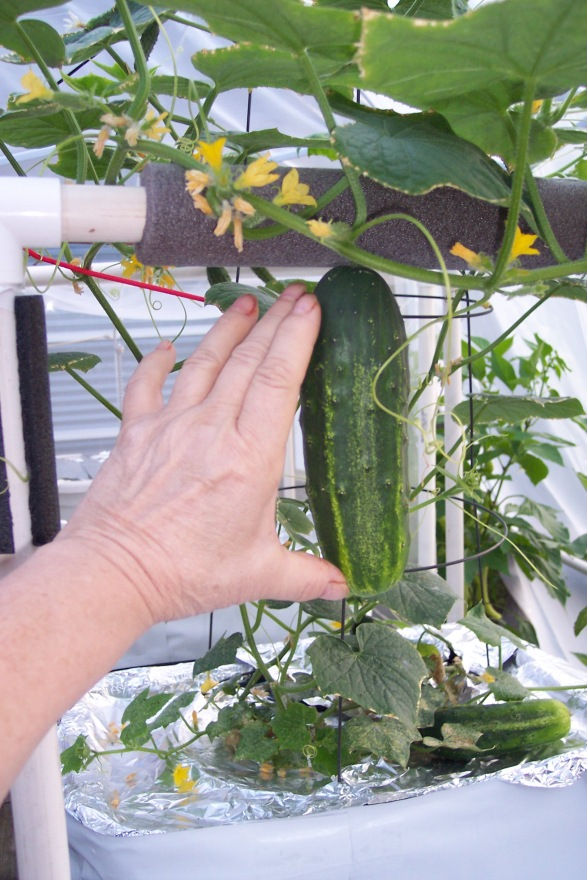 H-19 Little Leaf Cucumber Sept 22, 2014 still juicy & firm, even at this size.