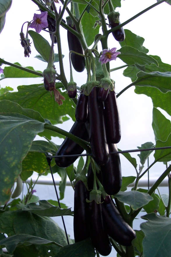Hansel Eggplant, loaded with eggplants of all sizes